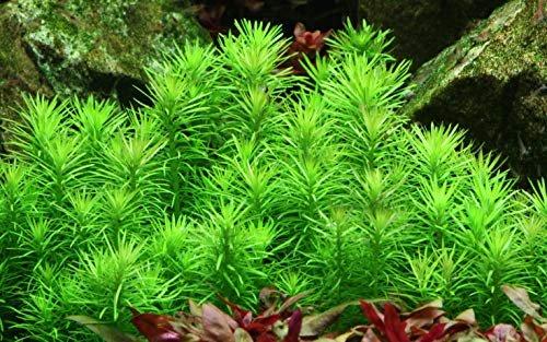 Bild Tropica Wasserpflanze In-Vitro 1-2-Grow! Pogostemon Erectus 53B (053F TC)